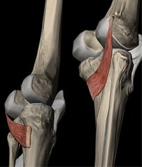 musculo popliteo