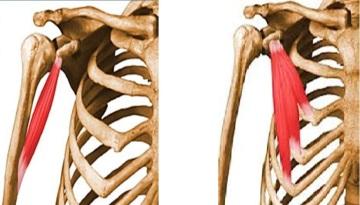 coracobraquial y pectoral menor
